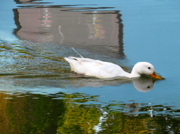 """""""I'm sure I can go faster if I put my beak down in the water like this!"""" said Dilly to no one in particular!"""