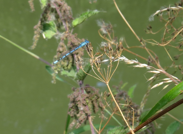 """I'm sure Delia will be here soon!"" said Denny Damselfly feeling more than a little saucy on this hot summer's afternoon!"