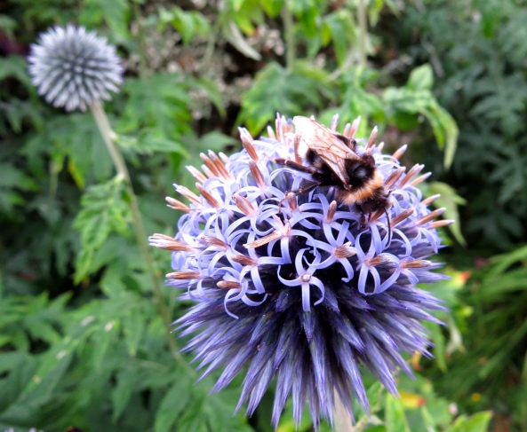 But Alfonso held a secret, He just pretended that he, Was called an Allium Gladiator He was really a Globe Thistle you see!