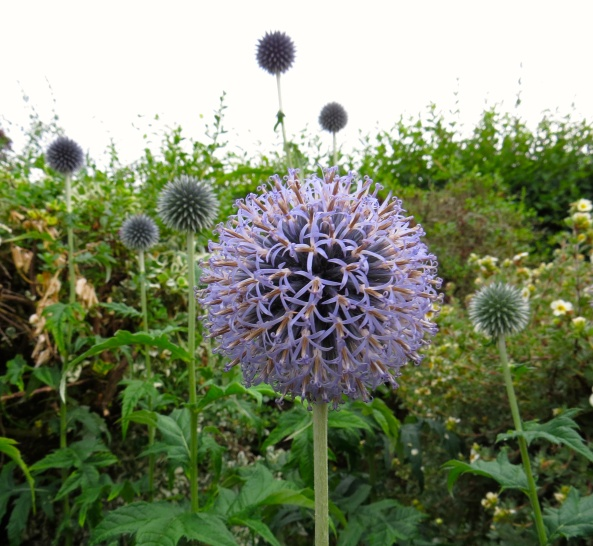 If this was how he was supposed to be He decided to let it all hang out He invited the bees to sample his nectar A globe thistle he was with no doubt!
