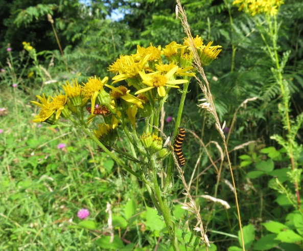 Finally after several poor choices of ragwort, Cecil finally made it to the right plant and met up with Red Belly Beetle!