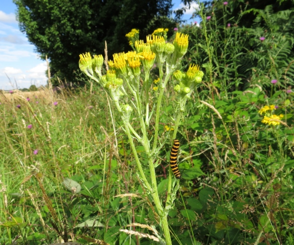 """Do you know?"" said Cecil Cinnabar, ""I could have sworn that Red Belly Beetle said he'd meet me up the 3rd ragwort plant on the right!"" And with a sigh he turned around and made his way back down!"