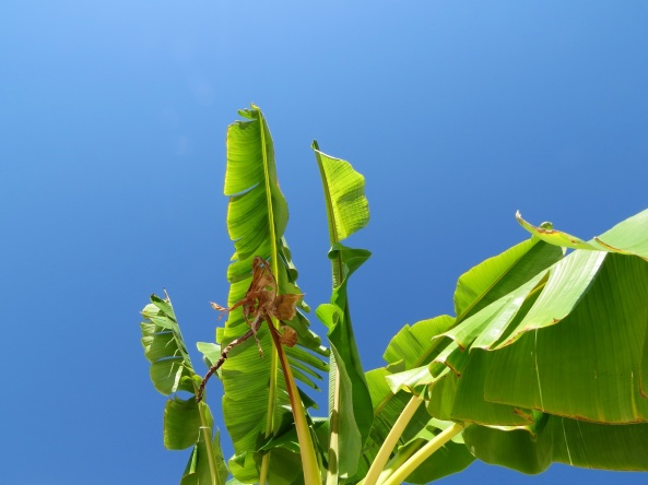 Taken from horizontal position, looking upward under a banana tree!
