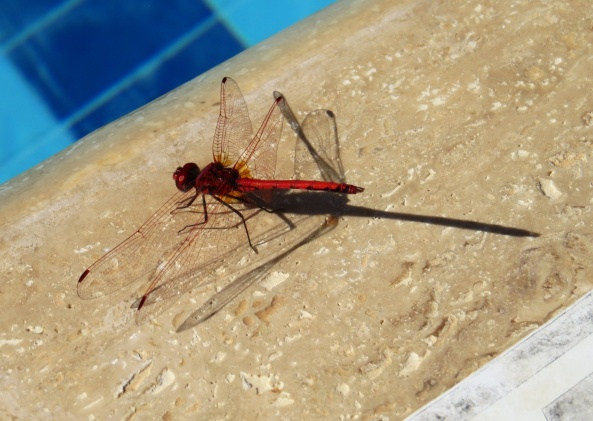 Dharma Dragonfly was pleased with how long his body looked when he glanced at his shadow!