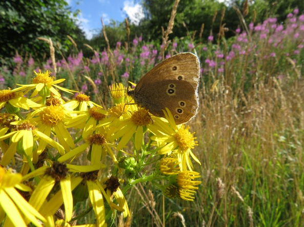 The sweetly named Ringlet Butterfly sits happily on this ragwort plant...Just Right and Good Choice!