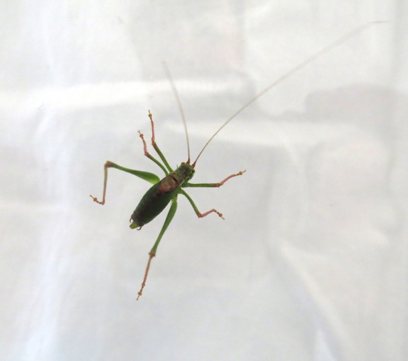 Meet Spangly the Speckled Bush Cricket!