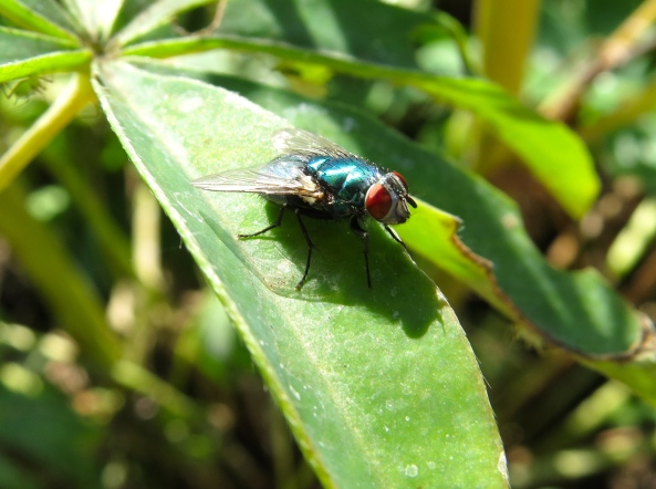 "Here's Freda Fly, who is also hungry!  ""Wonder where those aphids are!"" she wondered idly."