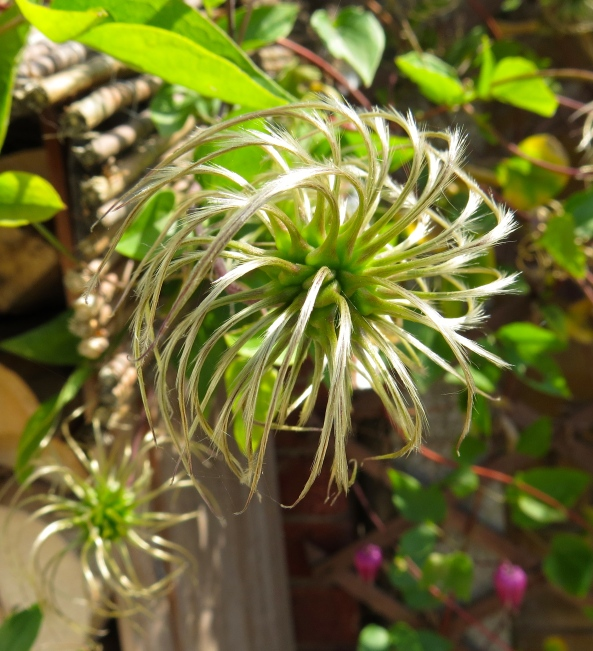 Clematis having a bad hair day!