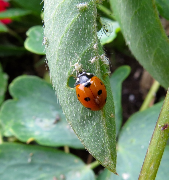 If you look carefully, it looks like ladybirds eat the aphid's body and discard the head!