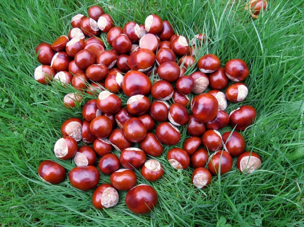 """Once they had escaped the shackles of their host """"Horse Chestnut the Conqueror"""". the conkers gathered together to discuss the next stage of their plan!"""
