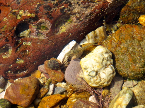 Can you see Regina the Rock Pool Fish?