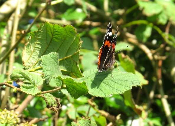 I think Roosevelt red Admiral maybe looks like he's going awol!
