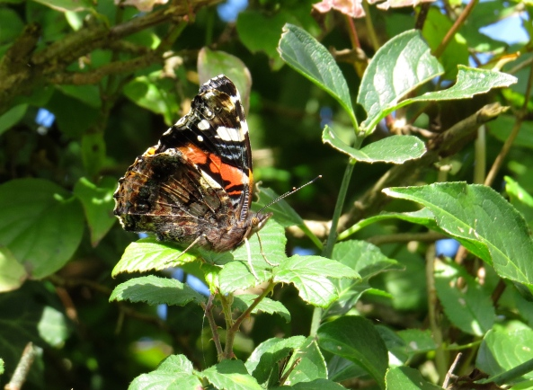 Rory Red Admiral certainly looks ready for action!