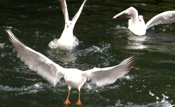 Graham Gull (back left) had expected to be able to lift himself out of the water easily. However, he had forgotten how much he had had for dinner and found his stomach was was holding him back!