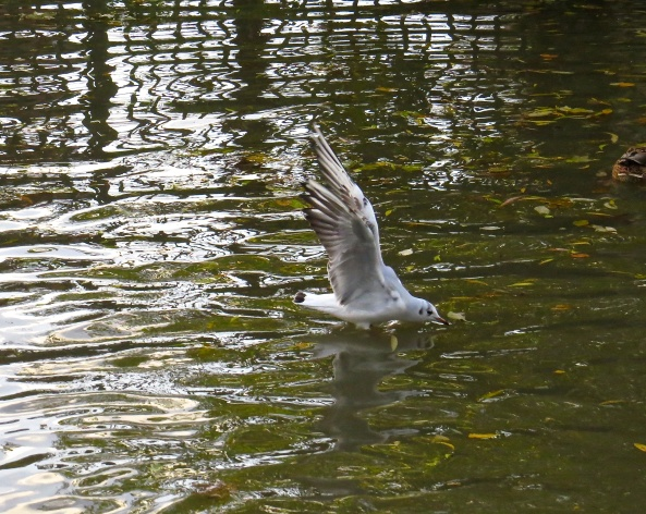 He watched as Gordon Gull swooped down and silently scooped up some poor unsuspecting fish!