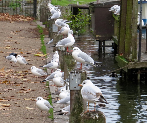 You do have to wonder though if any of the Black Headed Gull community actually cared very much!