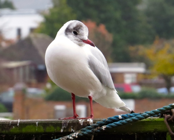 ….Bernard knew that for him, to ever land properly and with the skill of the other gulls would be a most definite surprise to all the gulls at the River Thames in Marlow!