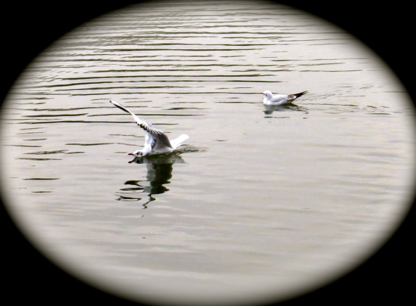 ….and gulls being what they are, they spread the news of more disasters of the landing variety for poor Bernard!