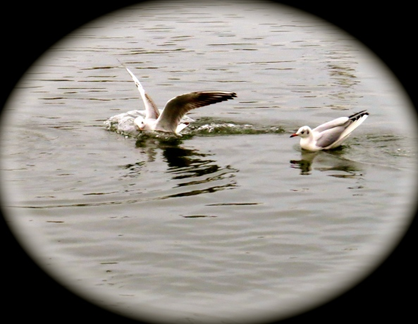 There was always another gull nearby to catch him landing most ungracefully…..