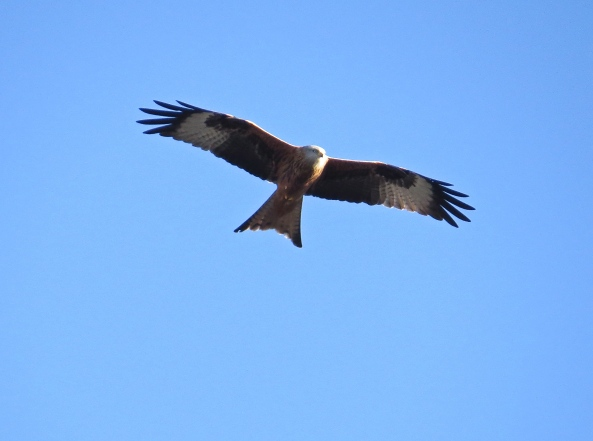 I have been waiting for a long time for a good shot of  Red Kite…and this is the best I have got to date! :)