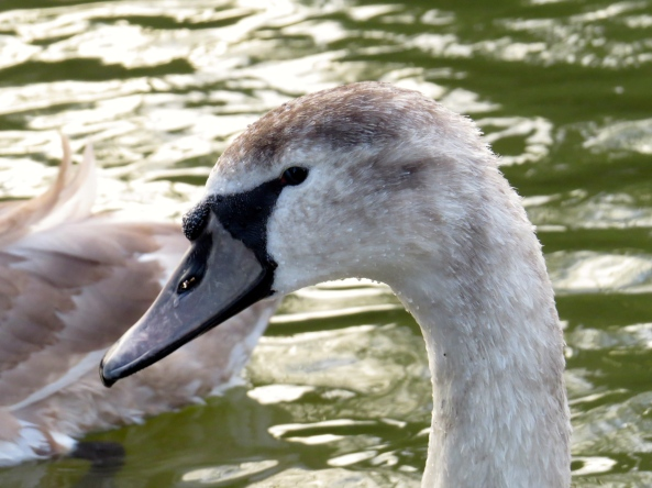 So even the cygnets joined in!!