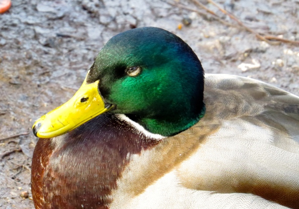 Digby Duck looked sly...