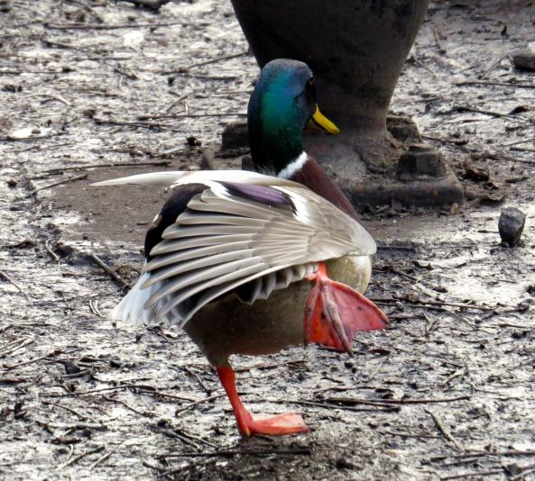 And Daring Duck tried to fly...
