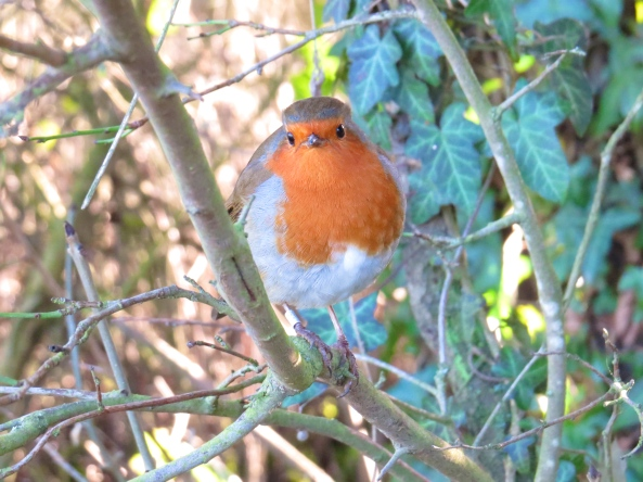 """Oh go on then,"" said Ridgemont Robin, ""I'll pose for you just this once as I am looking particularly gorgeous today!"""