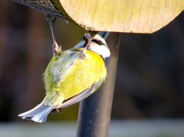 Blue tit or yellow breast???