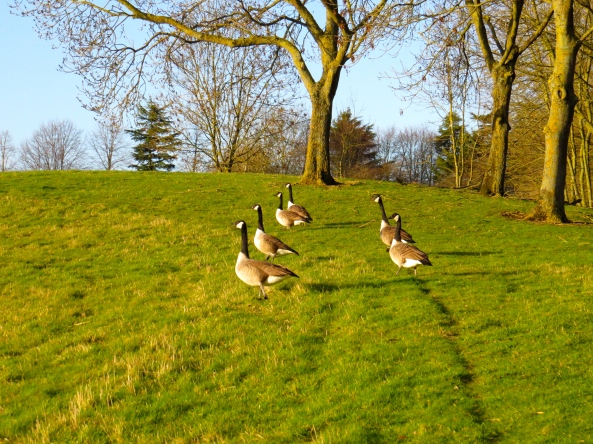 The Canada Geese were ready for their race as they stood neck-a-neck at the starting line!