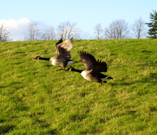 Graham Goose noticed that honking really helped his concentration and speed!