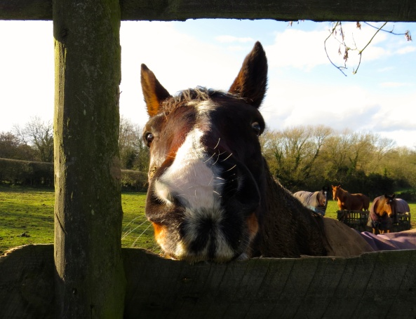 Heathwood Horse was a little perturbed to be told to be quiet on Wordless Wednesday! He rolled his eyes, put his ears back and bit the fence in irritation for he had a lot to say!