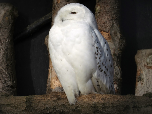 """I simply will not look at you!"" snorted Snooty the Snowy Owl!"