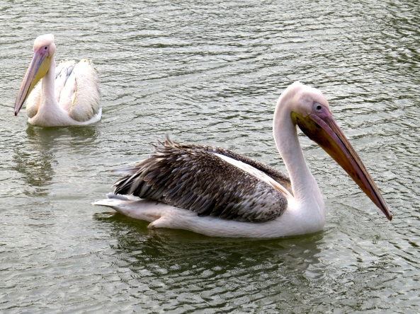 Pelooky Pelican and his chum Pelina tried to look casual in their search for rich pickings…….