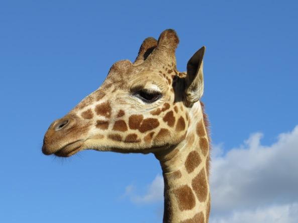 Meet Jenny Giraffe!