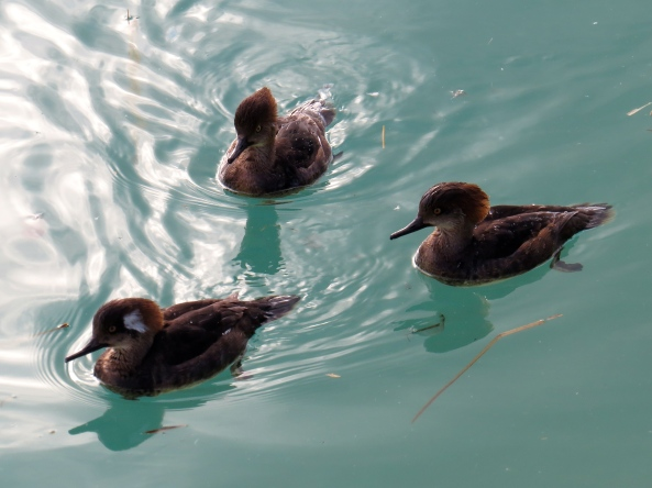 """""""Street life my elbow!"""" said The Three Merry Mergansers in unison, """"More like Pond Life for her! She's never taken photos of that in her life and I don't expect she'll stat now!"""""""