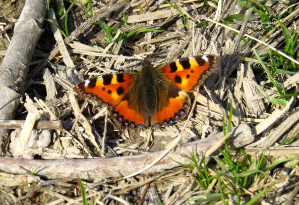 Tarquin the Small Tortoiseshell was delighted to be able to settle in the warmth of the afternoon.