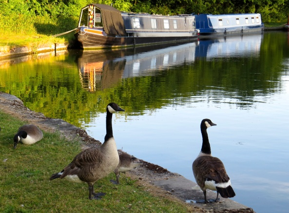Meet the Geese…..quietly enjoying an evening by the canal…..when who should they spot??