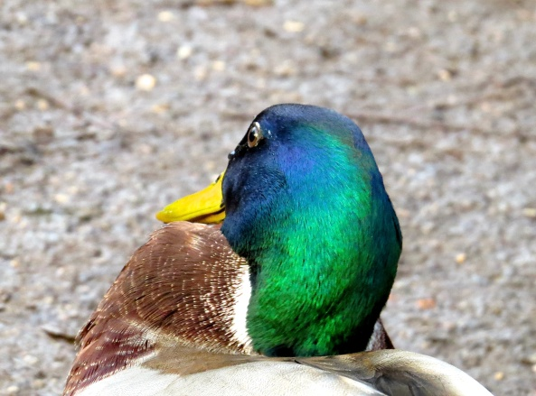 …something caught Dave Duck's eye…….