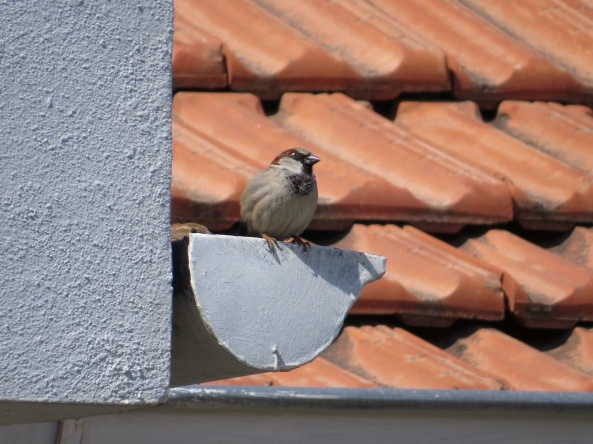 Sado the villa sparrow checking all's clear for his missis! (Can you see her little eye peeking out?)