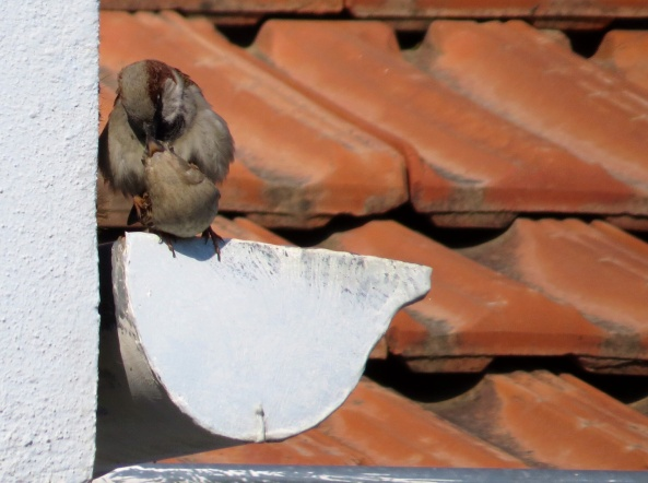 Shows what I know about sparrows flirting behaviour!