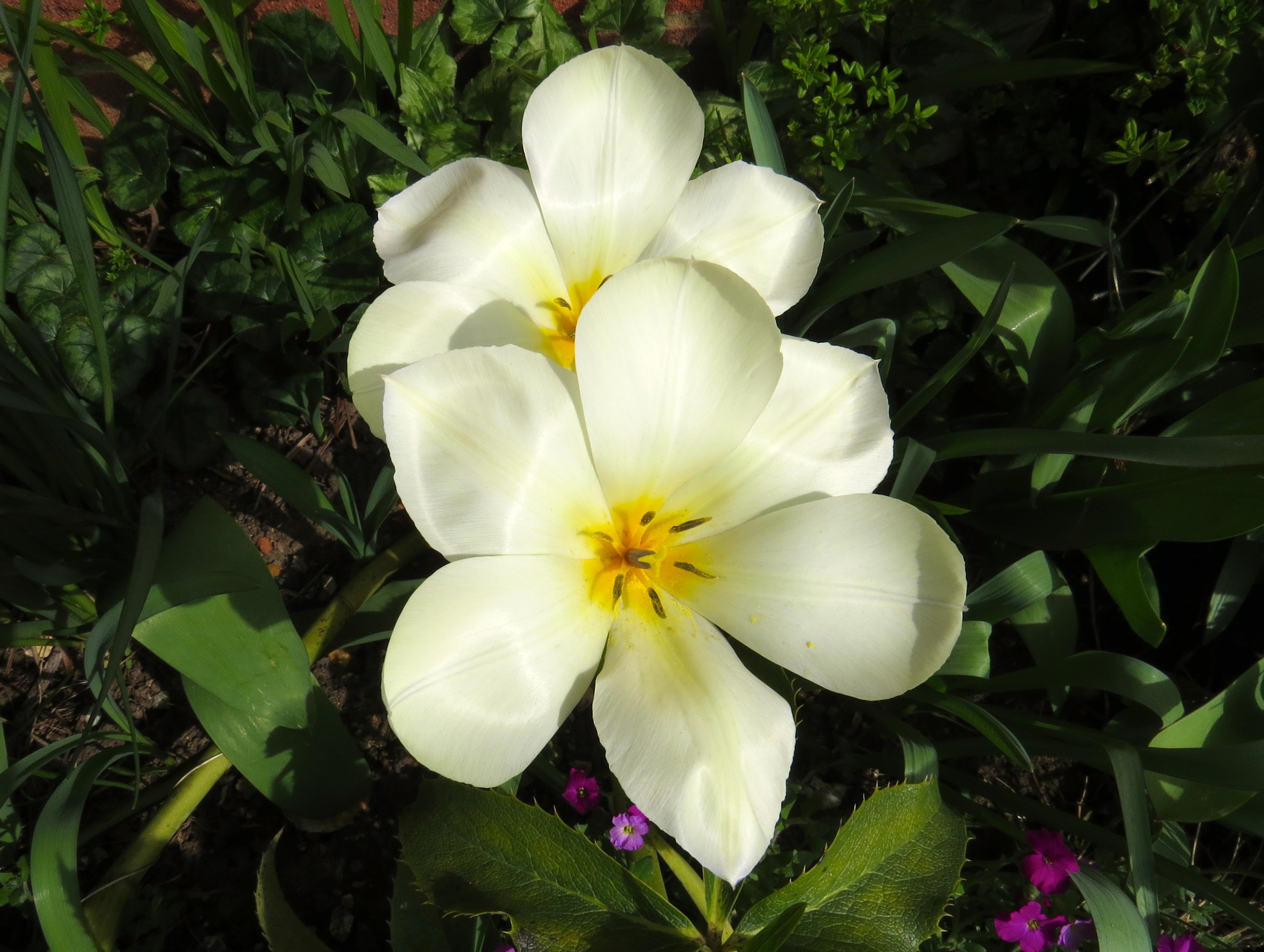 Tulips in my mum's garden.