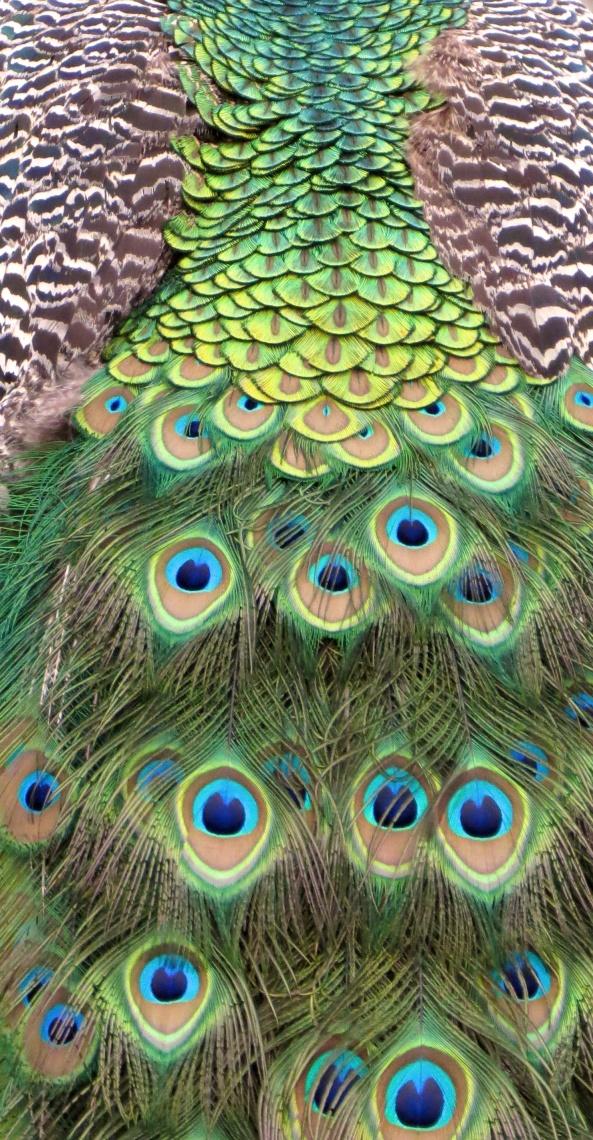 Istanbullian Peacock!