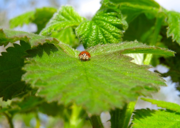 "Harmonia stared at me, straight in the eye and said, ""I particularly like sitting on bramble leaves as the tiny hairs tickle my underside in a very favourable way!"""