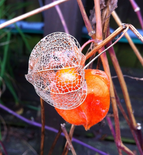 Physalis alkekengi, also known as Chinese Lantern>