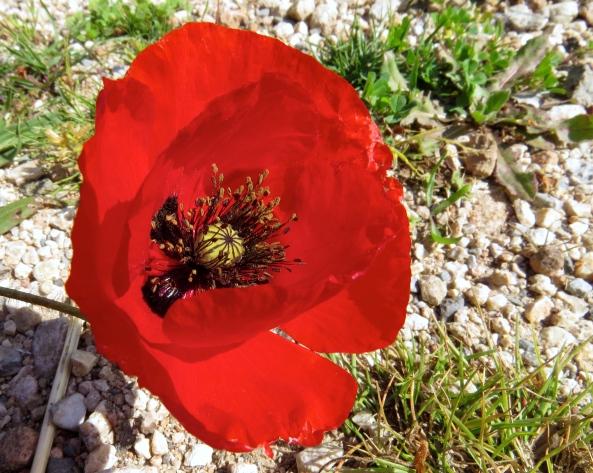Take the Turkish poppy…..shiny? A bit…..but not shiny enough!