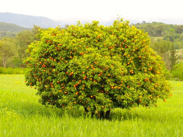 An orange tree in strange light in Turkey.