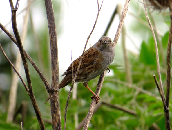 Slightly cross looking female sparrow!