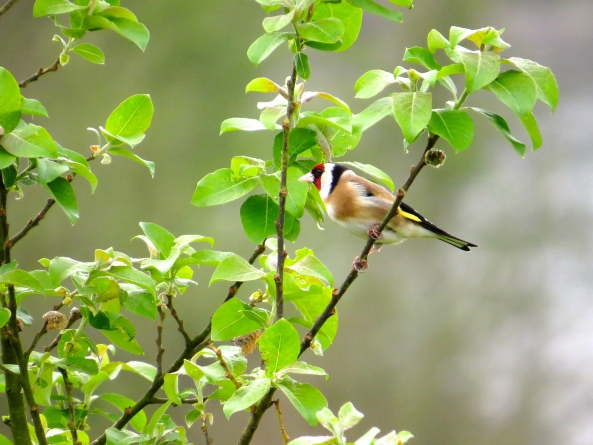 Oh beautiful bird, the goldfinch!