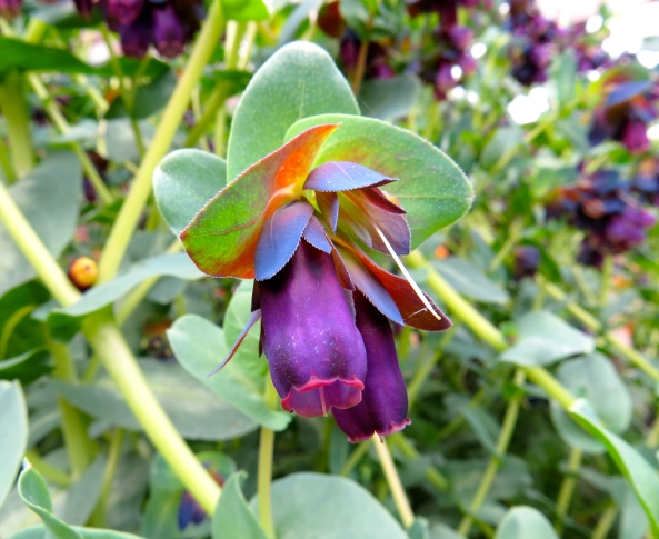 …it's a Honeywort…..
